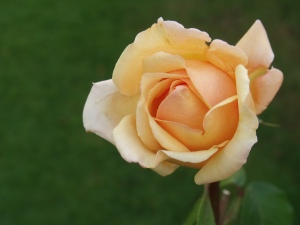 City of Gloucester Rose, photo by John Williams