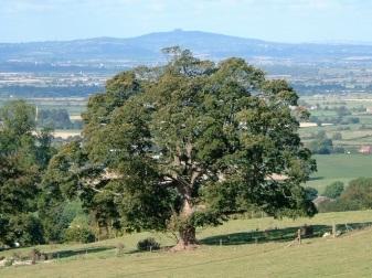 copyright Hugh Morrison tree